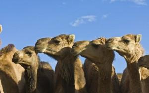 Jason Edwards/ National Geographic Bando de dromedários selvagens: espécie pode estar transmitindo o Mers